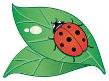 Ladybird. Illustration showing two leaves above with a ladybird Royalty Free Stock Image