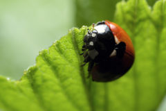 ladybird Fotografie Stock