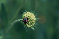 ladybird Lizenzfreies Stockfoto