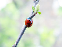 The ladybird. Going on a branch Royalty Free Stock Photo