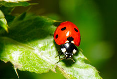 The Ladybird. On the leaf Stock Photography