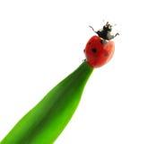 Ladybird (adalia bipunctata) Fotografie Stock