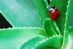 Ladybird on aloe Stock Photos
