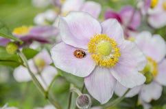 Ladybird On Anenome. Ladybird on pink Japanese anenome flowers Stock Photos