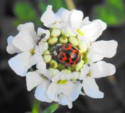Ladybird and ant. I was taking a picture of the ladybird on the flower and the ant decided to come and say hi and have it's picture taken as well Royalty Free Stock Photo