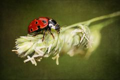 Ladybird on antique grunge textured background Royalty Free Stock Image