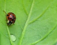 Ladybird Stock Photography