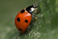 Ladybird. A beautiful portrait of a coccinella septempunctata Royalty Free Stock Image