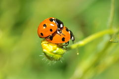 Ladybird beetle Royalty Free Stock Images
