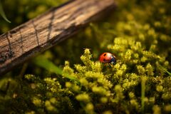 Ladybird Beetle Stock Images