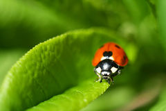 Ladybird, beetle, close-up photo on a green leaf Royalty Free Stock Images