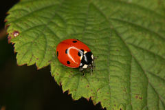 Ladybird beetle (Coccinella septempunctata). On a fly to eat on a sheet Stock Image