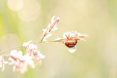 Ladybird beetle with a dew in the morning. Beautiful ladybird beetle with a dew in the morning Royalty Free Stock Photo