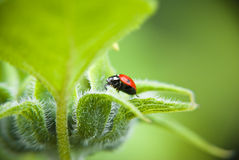 Ladybird beetle on green. Lady bug beetle sitting on green flower stock images