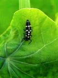 Ladybird beetle nymph royalty free stock photo