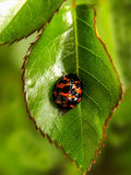 Ladybird beetle on rose leaf 2 Royalty Free Stock Photos