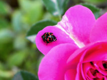 Ladybird Beetle on a Rose petal Royalty Free Stock Image