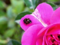 Ladybird Beetle on a Rose petal Royalty Free Stock Image