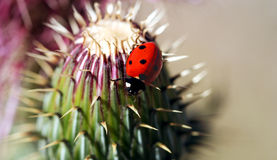 A Ladybird Beetle on a Spiny Thistle Stock Photos