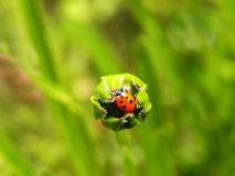 Ladybird Beetle in an unopened flower bud Royalty Free Stock Photo