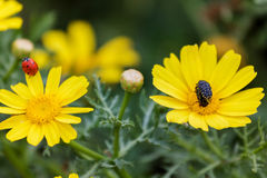 Ladybird and beetle in yellow flowers. Macro Royalty Free Stock Photography