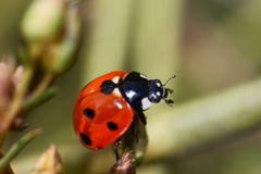 Ladybird beetles Royalty Free Stock Images