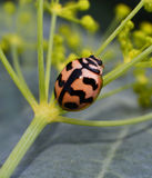 Ladybird beetles Stock Image