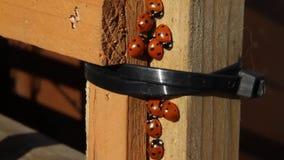 Ladybird beetles in cluster. Ladybird beetles in cluster warming in the sun urban garden environment stock video