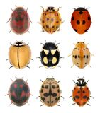 Ladybird beetles. Ladybugs ladybird beetles isolated on a white background stock photos