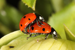 Ladybird beetles mating Stock Photo