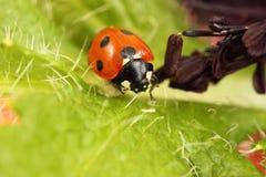 ladybird biedronka Obrazy Stock