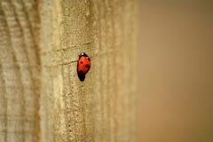 Ladybird biedronka na drewnianej poczta Obraz Royalty Free
