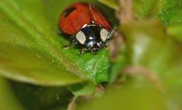 Ladybird, biedronka na Zielonym liściu/- Makro- zakończenie up Strzelał fotografia royalty free