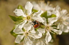 Ladybird on a bird cherry Royalty Free Stock Photography