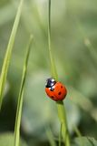 Ladybird on a blade Royalty Free Stock Photos