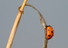 Ladybird on a blade of grass Stock Photography