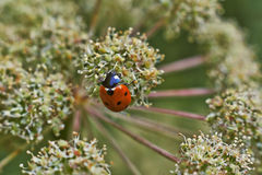 Ladybird on a blade . Royalty Free Stock Photography