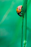 Ladybird on blade Royalty Free Stock Photo