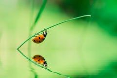 Ladybird on blade of grass Royalty Free Stock Photo