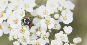 Ladybird on blossom Royalty Free Stock Image