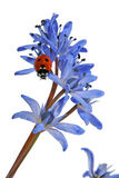 Ladybird on the Blue Snowdrop Royalty Free Stock Image