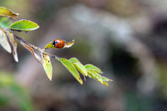 The Ladybird on the branch Royalty Free Stock Photography