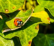 Ladybird bug sitting on a green ivy leaf, insect with orange wings and black spots, common insect in europe. A ladybird bug sitting on a green ivy leaf, insect stock photo