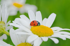 Ladybird on a camomile Stock Images