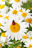 Ladybird on a camomile Stock Photography