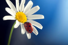 Ladybird on camomile flower Stock Image