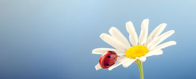 Ladybird on camomile flower Royalty Free Stock Photography