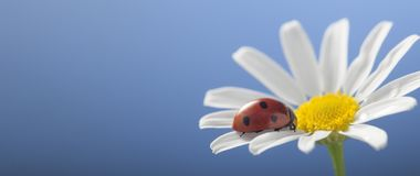 Ladybird on camomile flower Royalty Free Stock Images
