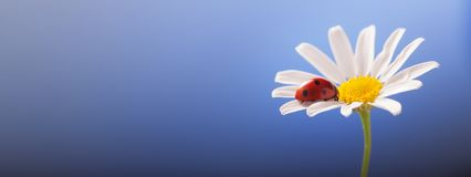 Ladybird on camomile flower, ladybug on blue background.  stock images