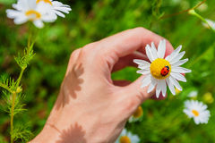 Ladybird on a camomile in male hand Royalty Free Stock Photo